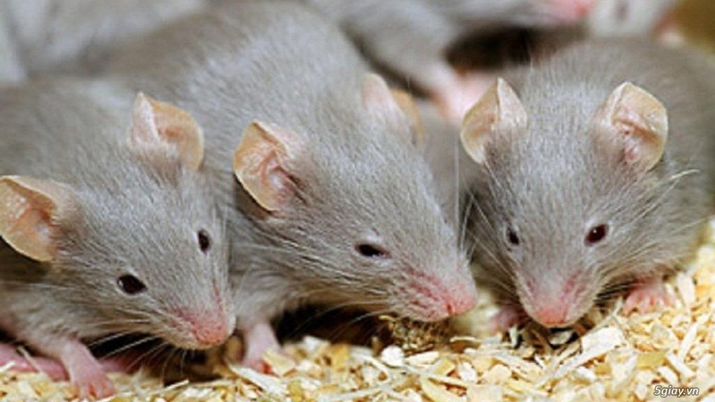 Chuột quậy phá quá...Hãy vào đây... Chuyên các loại thuốc chuột nhập khẩu - 2