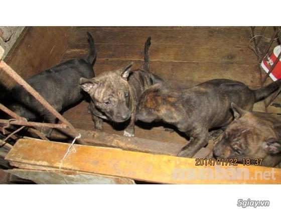 Trại chó phú quốc thuần chủng tại hà nội - 2
