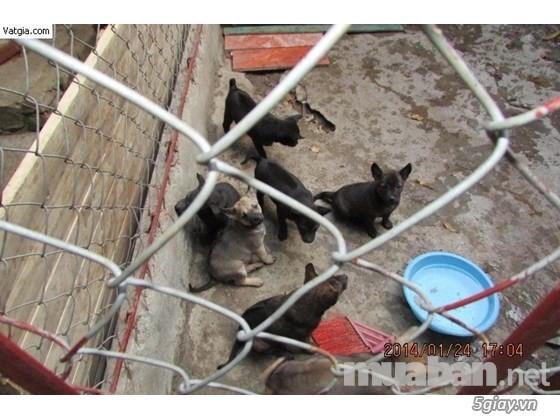Trại chó phú quốc thuần chủng tại hà nội - 3