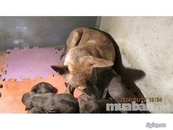 Trại chó phú quốc thuần chủng tại hà nội - 1