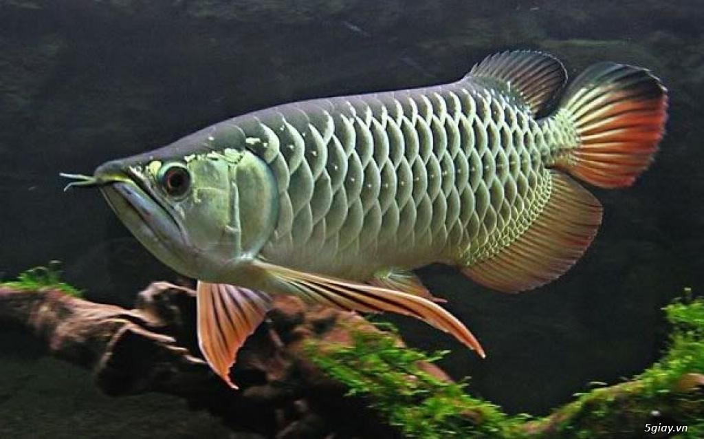 Cá rồng High Back - Cao Lưng Hồng vĩ - Kim Long - 1