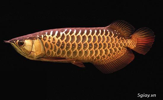 Cá rồng High Back - Cao Lưng Hồng vĩ - Kim Long