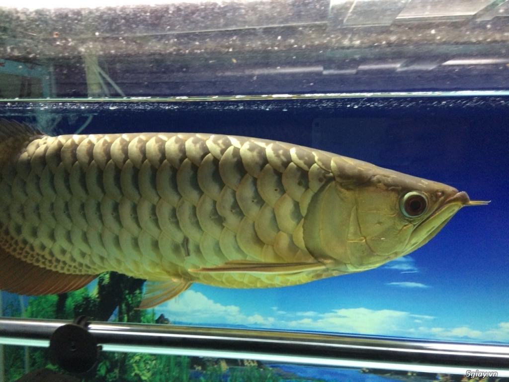 Thanh lý hồ cá 60x130cm, cá kim long quá bối 24K, 45cm và 8 cá Dĩa - 5