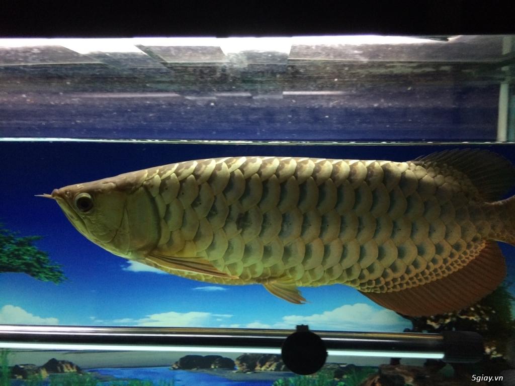 Thanh lý hồ cá 60x130cm, cá kim long quá bối 24K, 45cm và 8 cá Dĩa - 7
