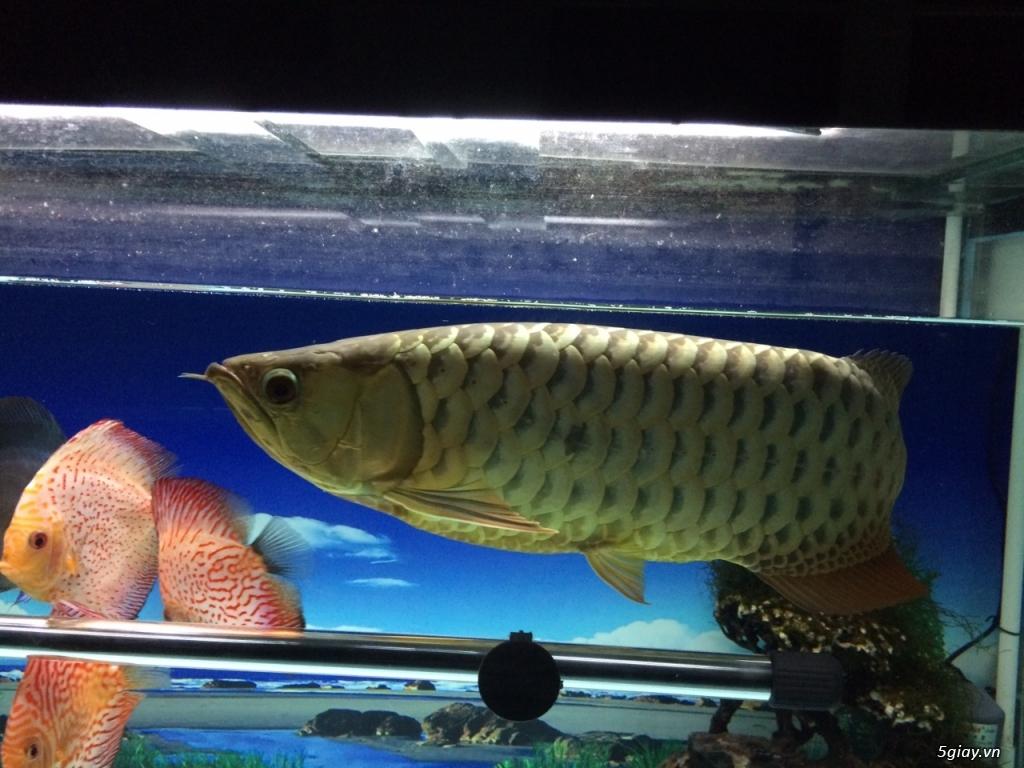 Thanh lý hồ cá 60x130cm, cá kim long quá bối 24K, 45cm và 8 cá Dĩa - 8