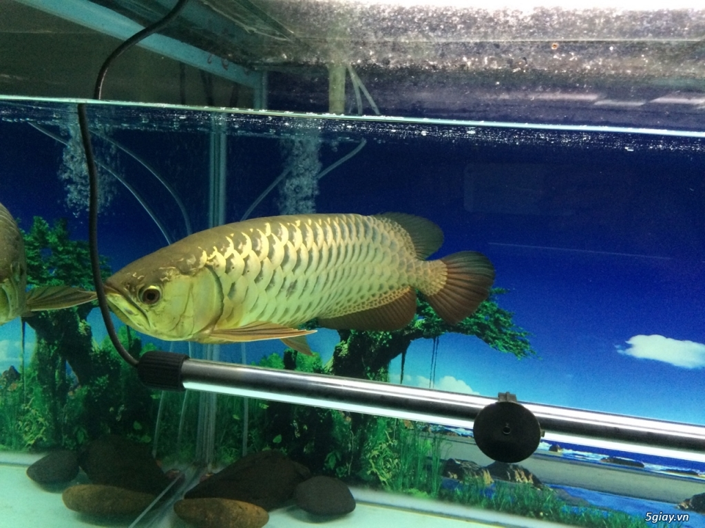 Thanh lý hồ cá 60x130cm, cá kim long quá bối 24K, 45cm và 8 cá Dĩa - 4