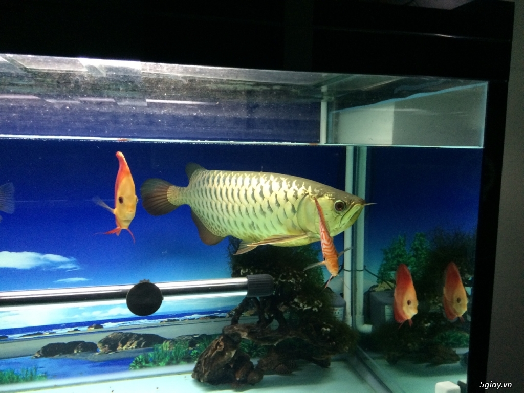 Thanh lý hồ cá 60x130cm, cá kim long quá bối 24K, 45cm và 8 cá Dĩa - 1
