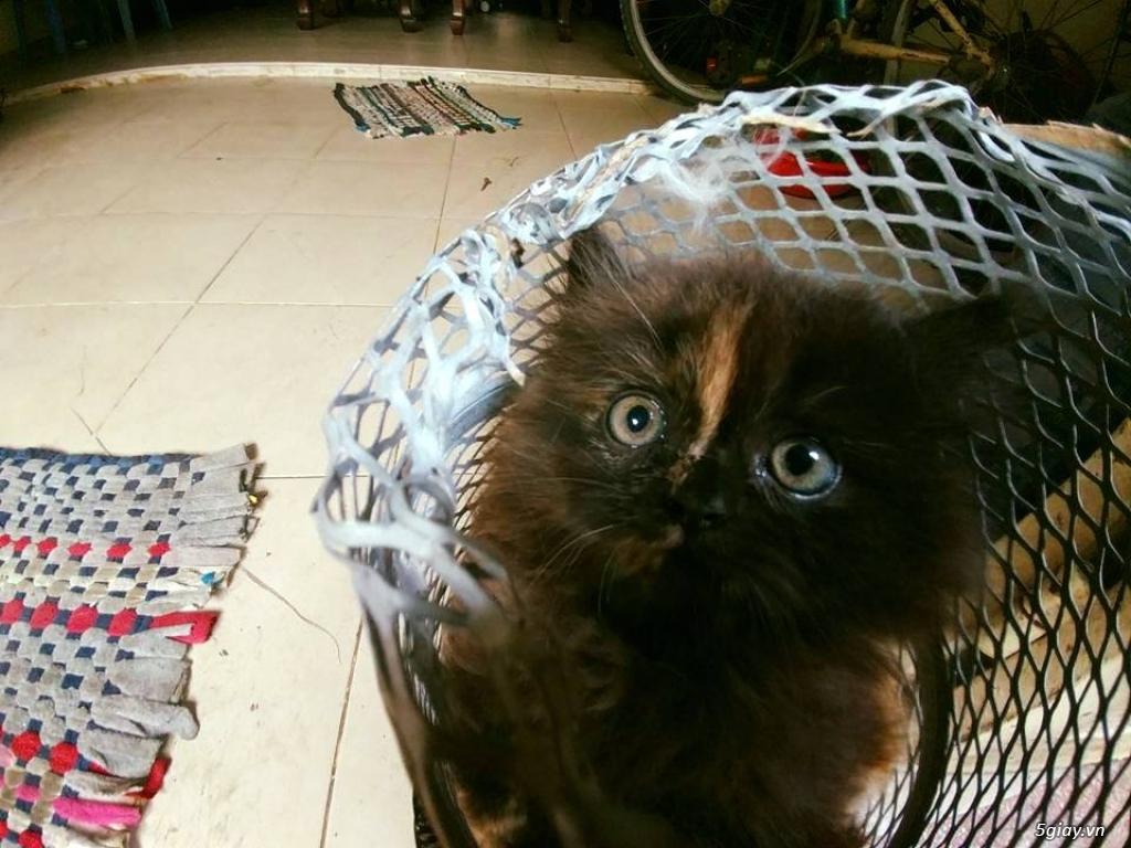 mèo ba tư lông xù