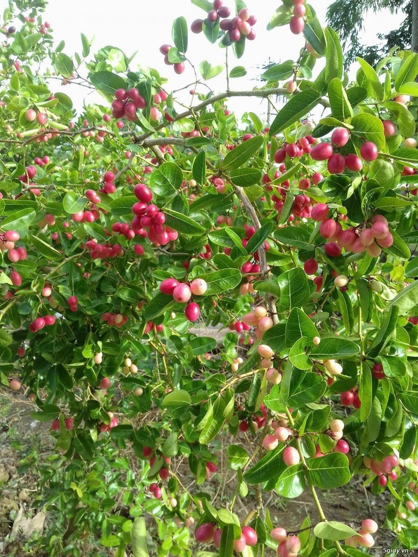 cây dâu tằm trái dài giống Đài Loan, nho thân gỗ , cây sirô - 4