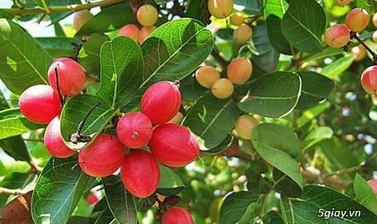 p cây dâu tằm trái dài giống Đài Loan, nho thân gỗ , cây sirô - 2