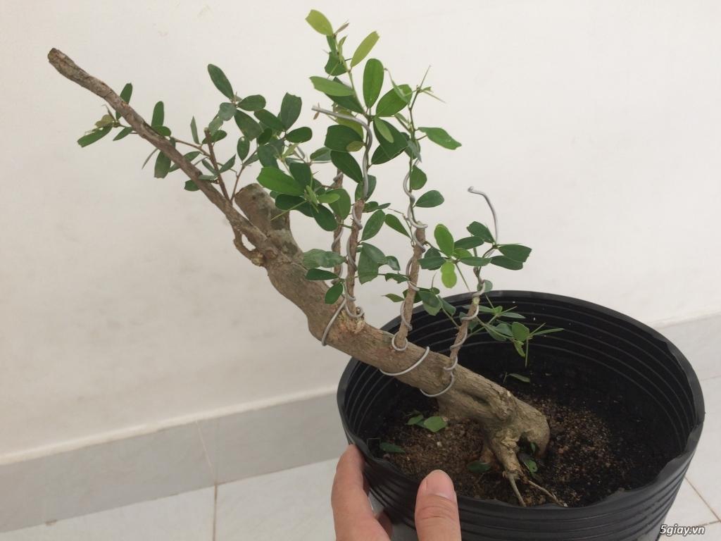 Linh sam Ninh Thuận , rừng trên thân - 2