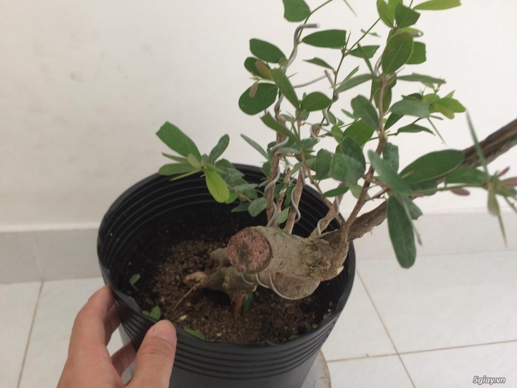 Linh sam Ninh Thuận , rừng trên thân - 3
