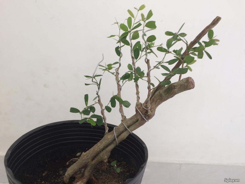 Linh sam Ninh Thuận , rừng trên thân - 4