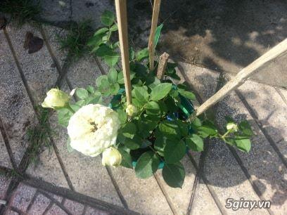 Hoa hồng ngoại - 1