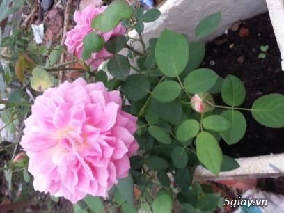 Hoa hồng ngoại - 3