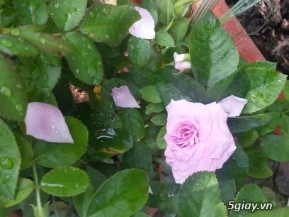 Hoa hồng ngoại - 4