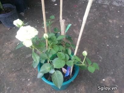 Hoa hồng ngoại - 2