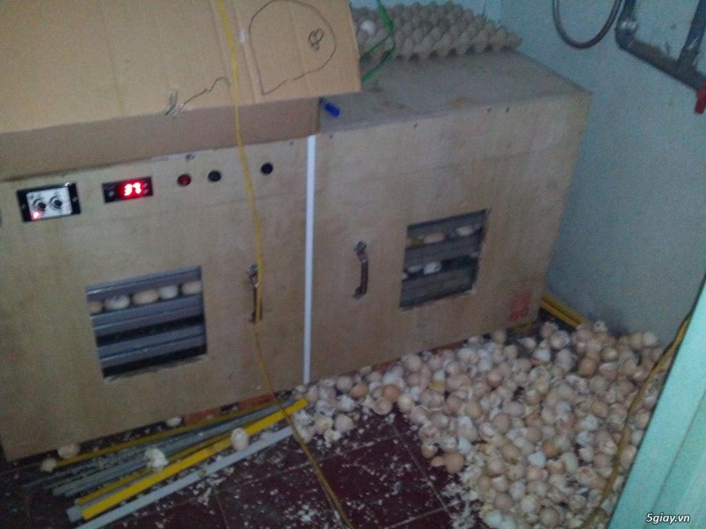 Gà serama & máy ấp trứng fox 1004   ............. - 18
