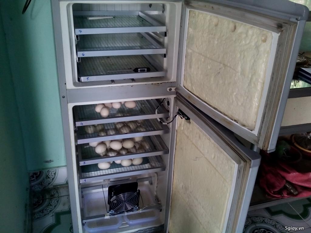Gà serama & máy ấp trứng fox 1004   ............. - 21