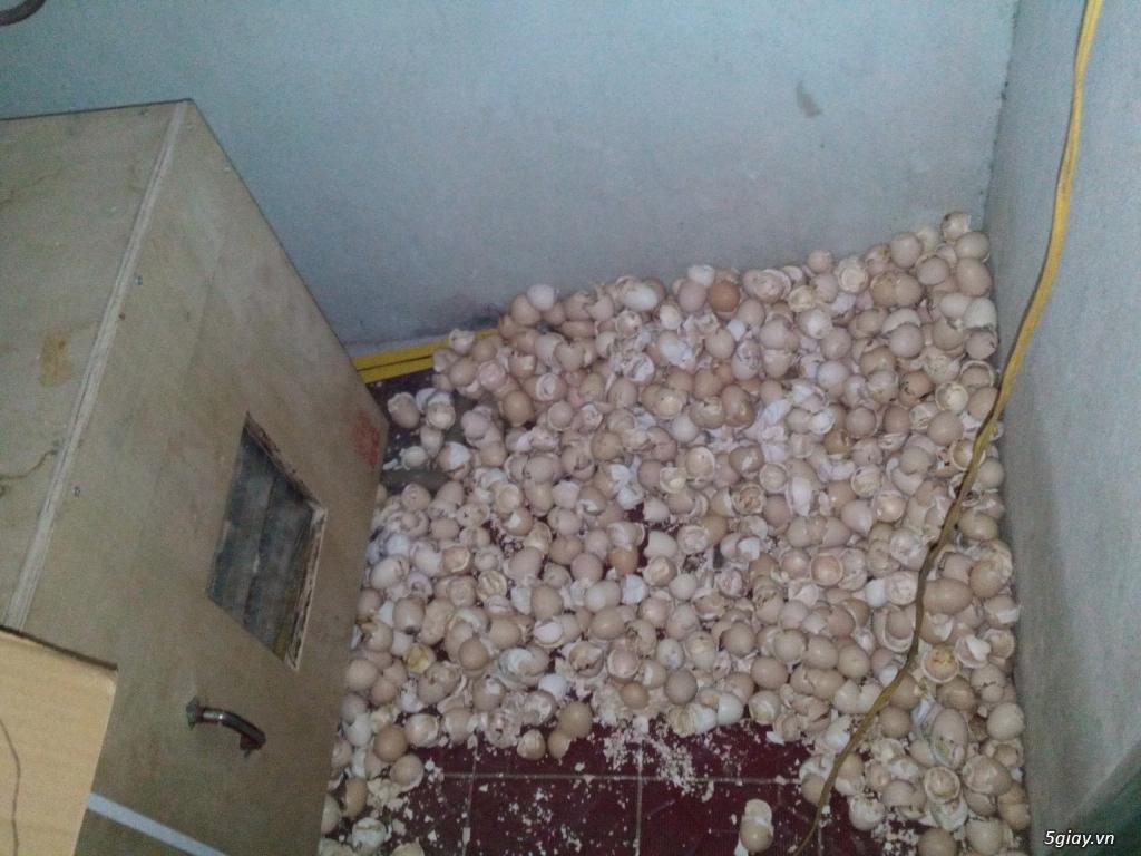 Gà serama & máy ấp trứng fox 1004   ............. - 19