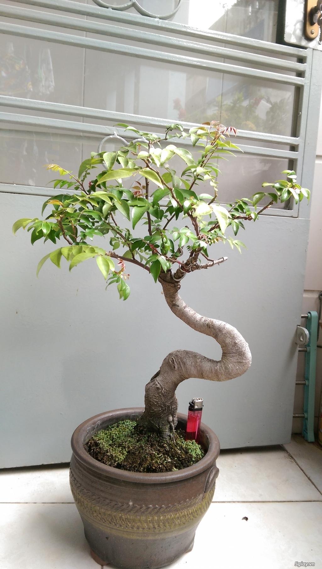 Giao Lưu Vai Em Bonsai Mini Gia Mềm 5giay