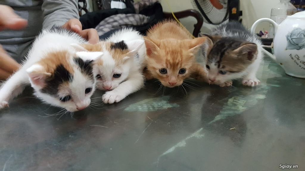 mẹ em đang có 4 bé mèo lai nhà nuôi cần tìm nhà mới,  các bé được thán