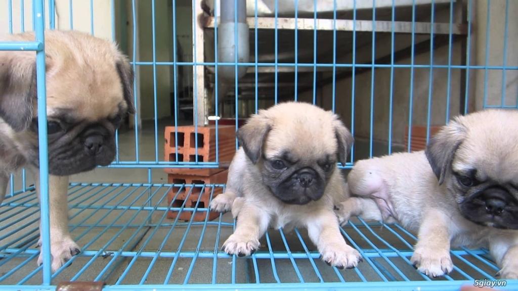 chó Bug , chó poodle , chó Alaska thuần chủng. - 4