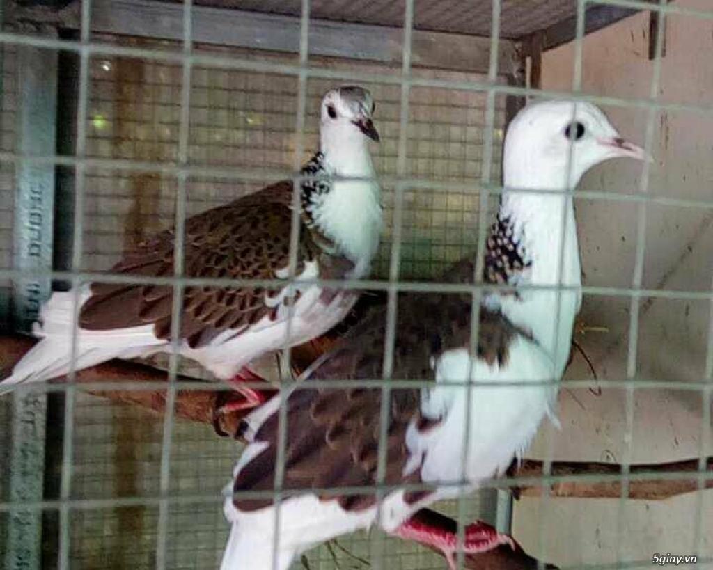 chim cu thái lan , chim cu đột biến thái lan - 4