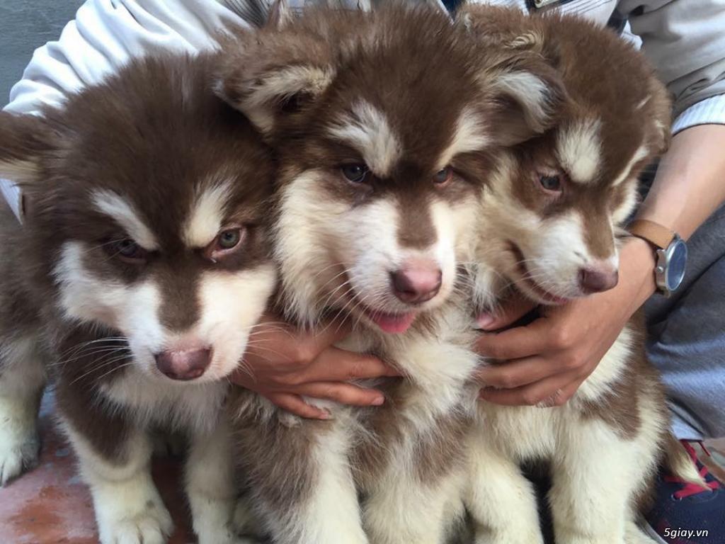 chó Bug , chó poodle , chó Alaska thuần chủng. - 9