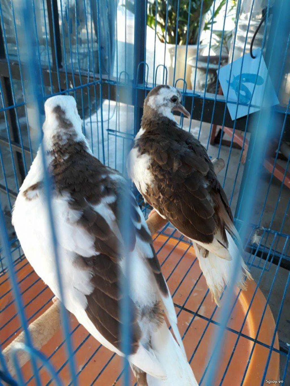 chim cu thái lan , chim cu đột biến thái lan - 1