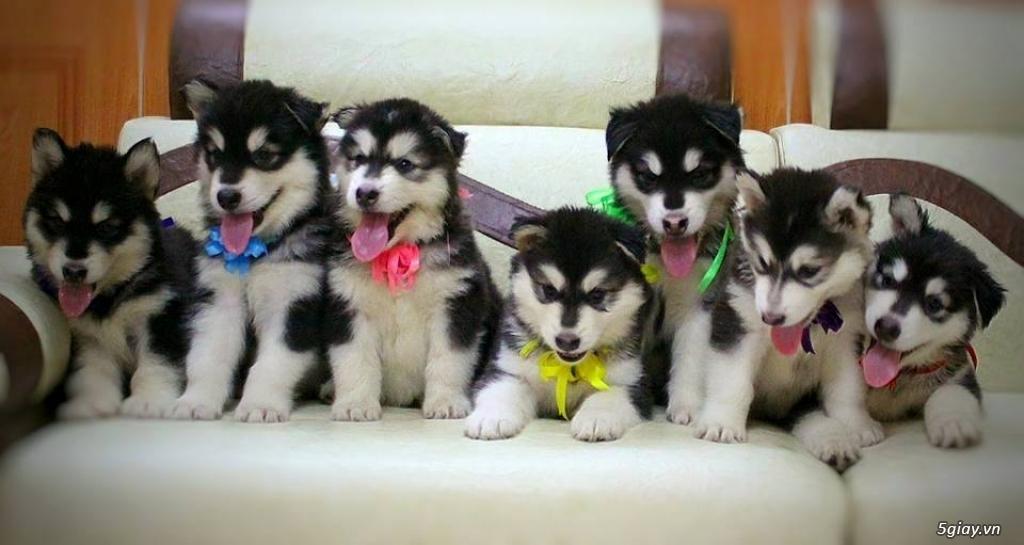chó Bug , chó poodle , chó Alaska thuần chủng. - 6