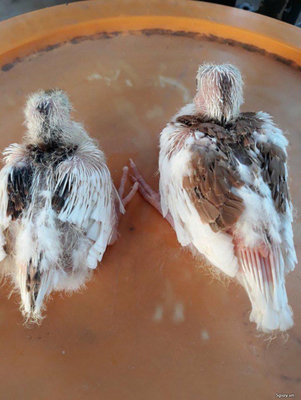 chim cu thái lan , chim cu đột biến thái lan