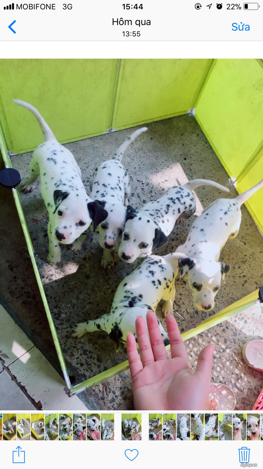 Chó Đốm Con Thuần Chủng HCM(Dalmatian) - 4