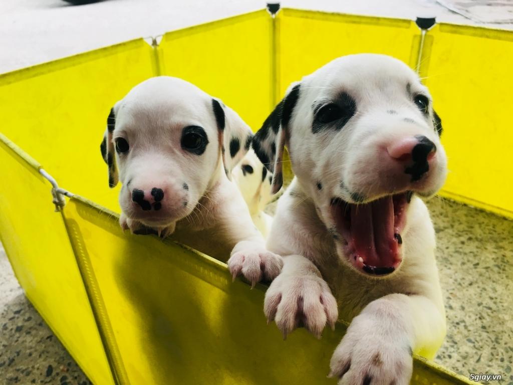 Chó Đốm Con Thuần Chủng HCM(Dalmatian) - 2