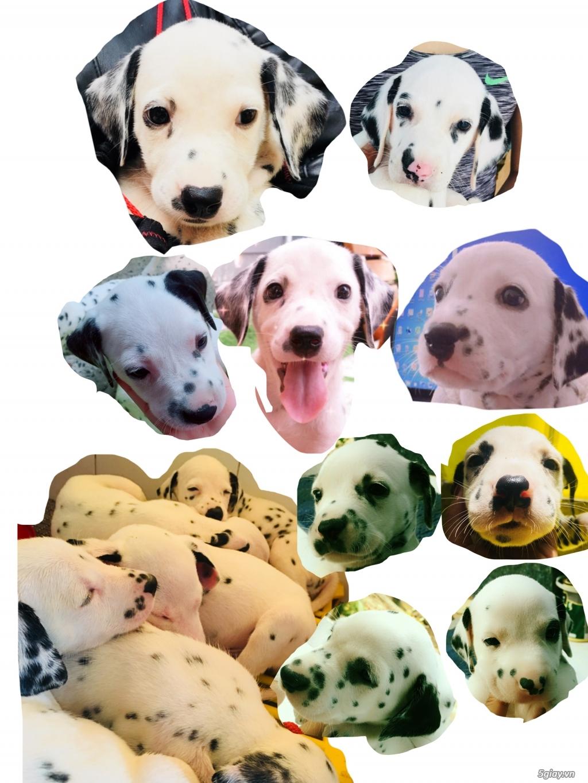 Chó Đốm Con Thuần Chủng HCM(Dalmatian) - 3