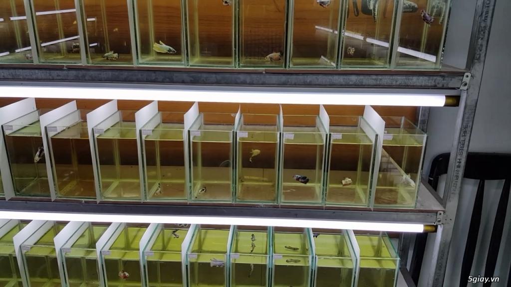 Trại Cá Betta Thanh: Nhận làm hồ kiếng theo y/c, Giá rẻ, cạnh tranh !