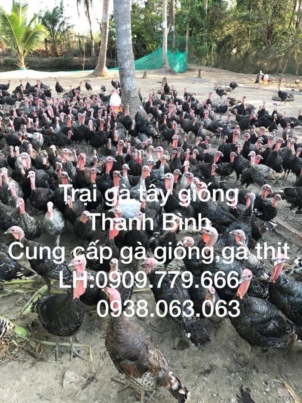 Trại gà tây(gà lôi) giống Thanh Bình.Chuyên cung cấp con giống LH:0909.779.666 - 23