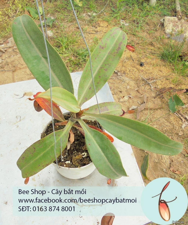 Bee Shop - cây bắt mồi: Cây nắp ấm tháng 5, đẹp, dễ trồng và chăm sóc - 7