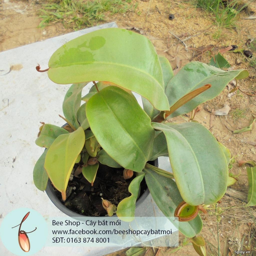 Bee Shop - cây bắt mồi: Cây nắp ấm tháng 5, đẹp, dễ trồng và chăm sóc - 3