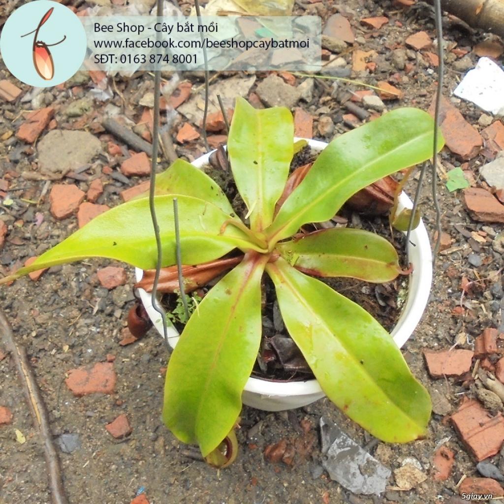 Bee Shop - cây bắt mồi: Cây nắp ấm tháng 5, đẹp, dễ trồng và chăm sóc - 9