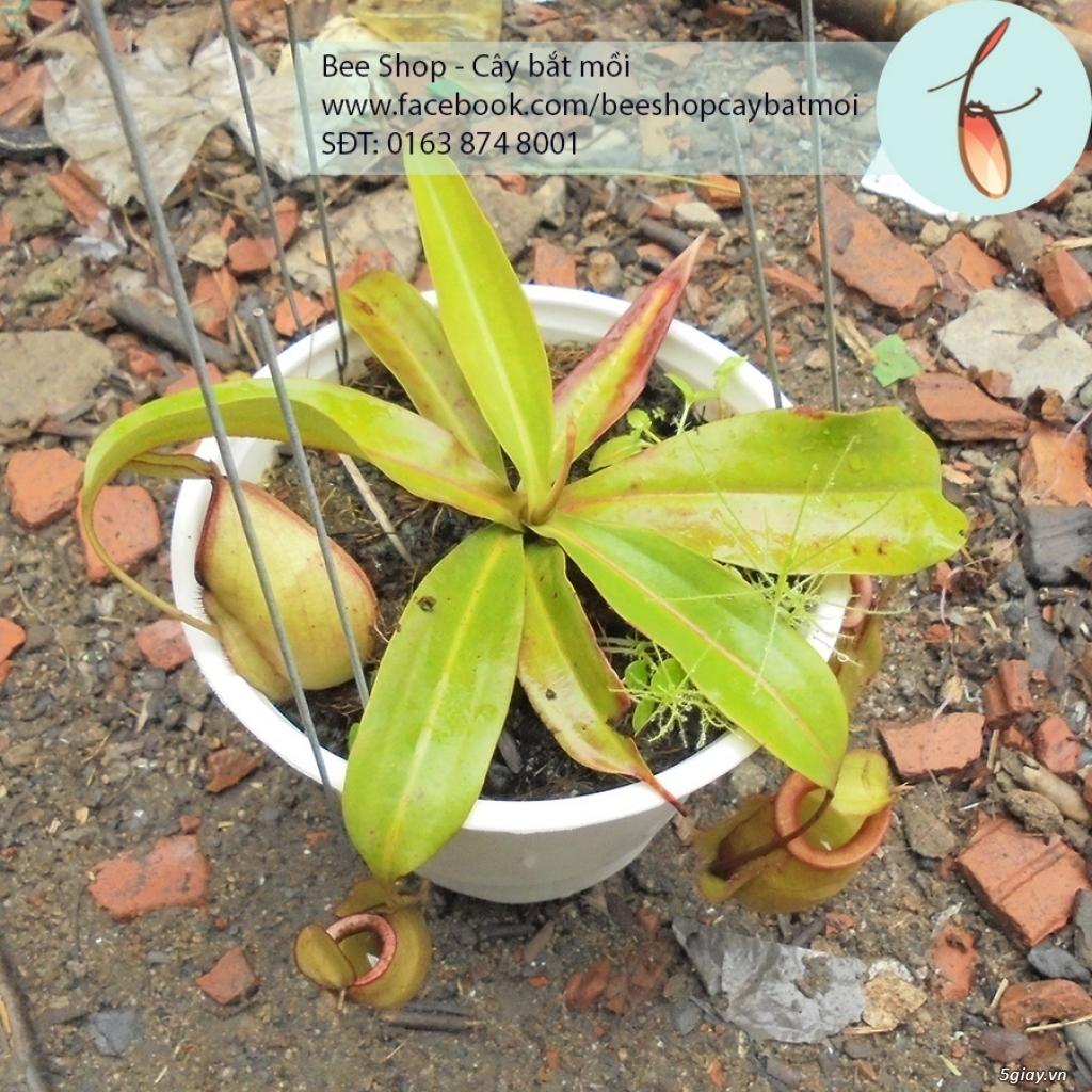 Bee Shop - cây bắt mồi: Cây nắp ấm tháng 5, đẹp, dễ trồng và chăm sóc - 11