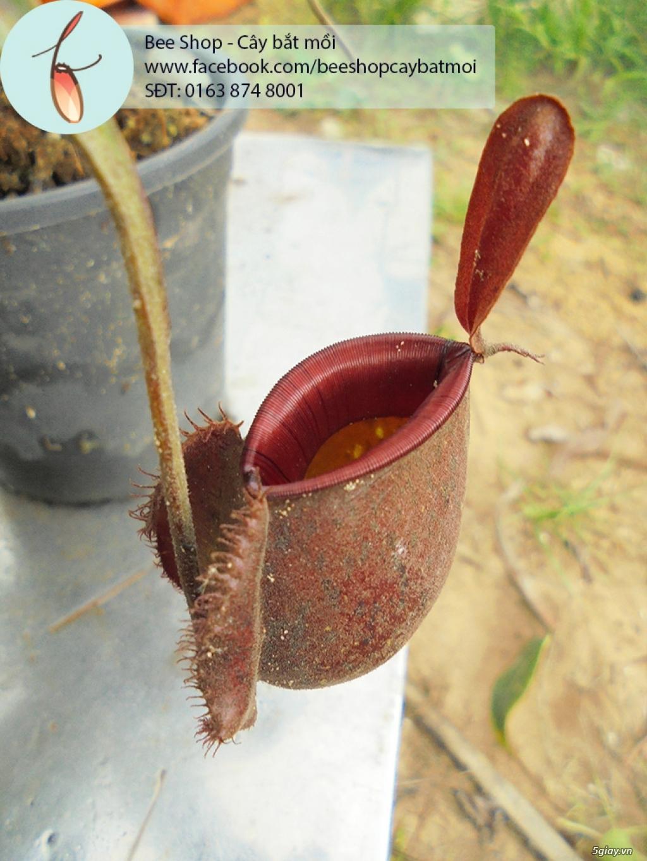Bee Shop - cây bắt mồi: Cây nắp ấm tháng 5, đẹp, dễ trồng và chăm sóc - 6