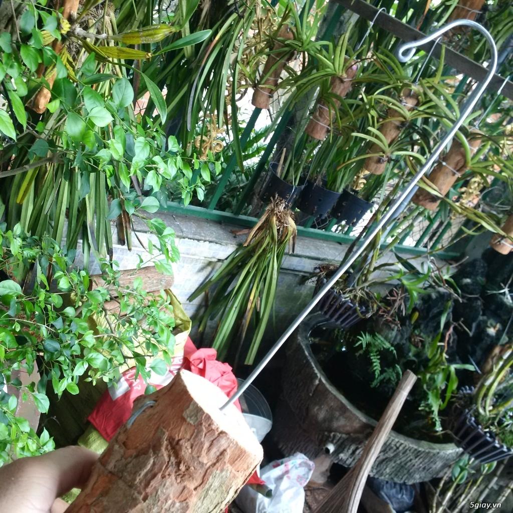 Vỏ thông khô, gỗ vú sữa trồng lan - 3