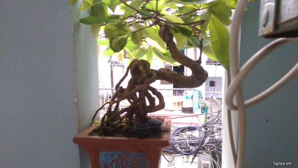 Giao lưu vài em bonsai mini giá mềm!!! - 3