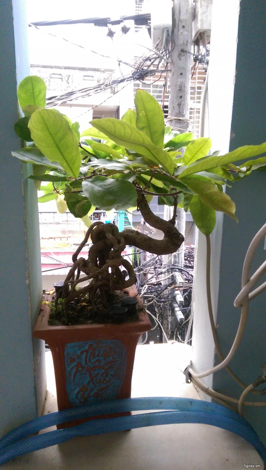 Giao lưu vài em bonsai mini giá mềm!!! - 4