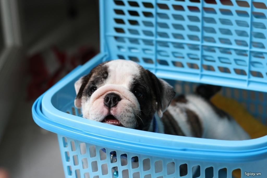 9 Bé English Bulldog Siêu cute giấy VKA Và Chíp Đầy Đủ - 19