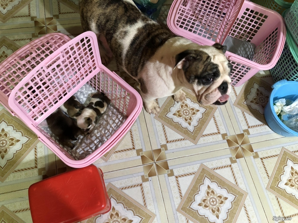 9 Bé English Bulldog Siêu cute giấy VKA Và Chíp Đầy Đủ - 21