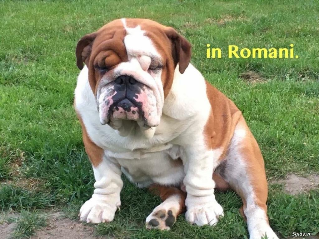 9 Bé English Bulldog Siêu cute giấy VKA Và Chíp Đầy Đủ - 17