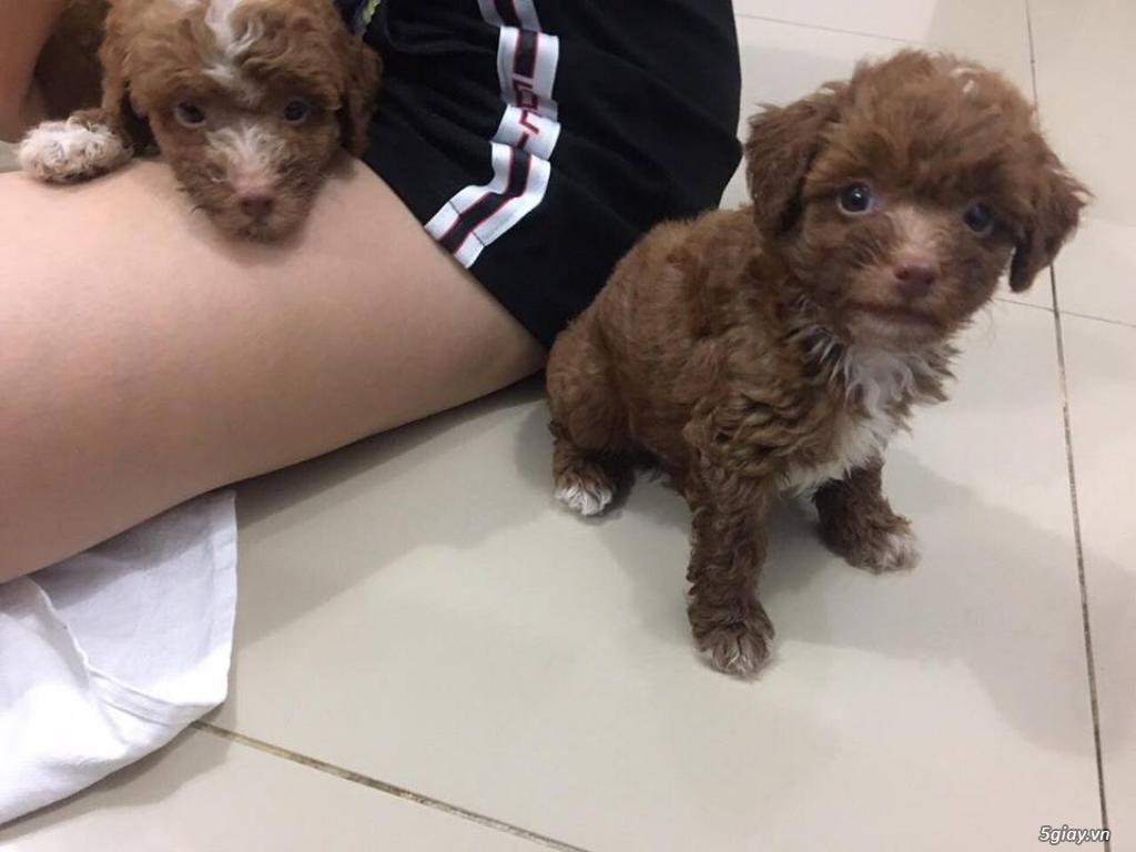 (HCM) 3 bé đực 1 bé gái poodle cần tìm nhà mới - 10