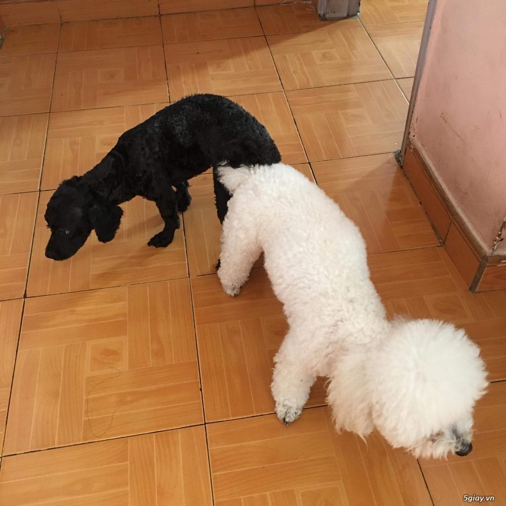 2 em chó cái poodle dòng tiny